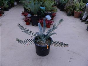 Encephalartos horridus 3.25 INCHES 91
