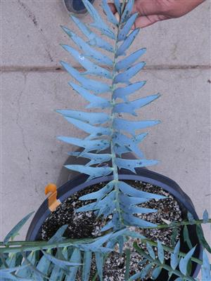 Encephalartos horridus 4.25 INCHES 83