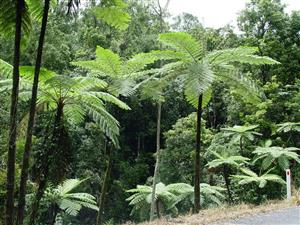 Australian Tree Fern Plantlust Website