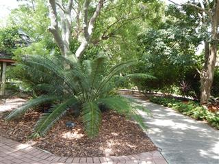 Cycad in landscape