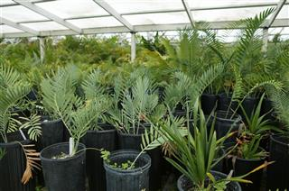 Cycads at nursery