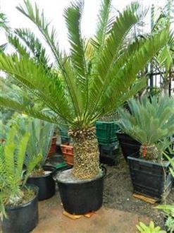 Encephalartos altensteinii Jungle Music
