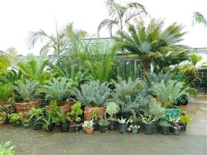 cycads at Jungle Music