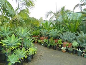 Assorted cycads at nursery