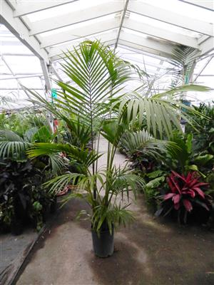 Howea forsteriana Kentia Palm