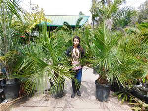 Jubaea x Butia, very large 15g plants