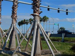 Support for transplanted large palm tree