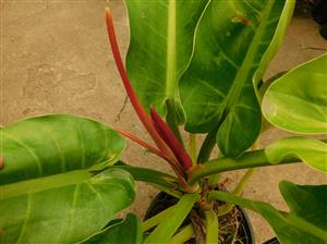 Philodendron wend-umbe