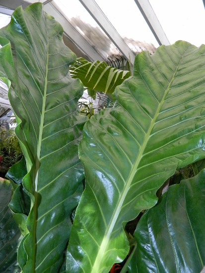 Palm Trees and Cycads For Sale - Blog for March 2014 Ruffled Birds Nest Fern For Sale