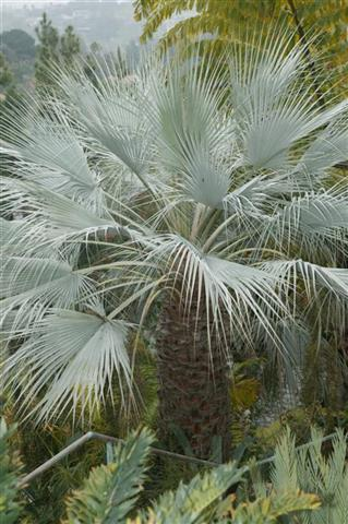 Brahea armata Palm Tree in California