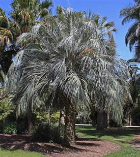 Blue Butia capitata Paul Craft