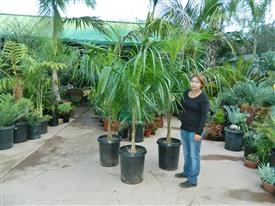 Syagrus schizophylla x Queen palm