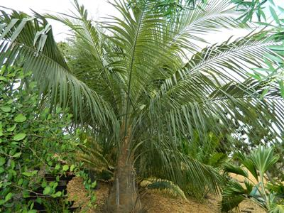 palm at nursery