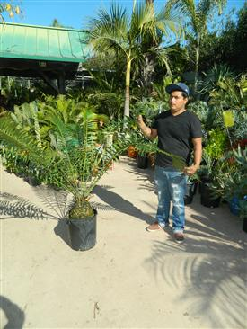 Repotting a Cycad