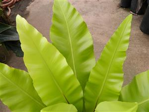May, 2016 Blog Format Presentation on Palms, Cycads and ... Ruffled Birds Nest Fern For Sale