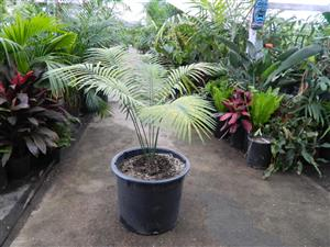 Cycas species India 20g 4 to 5 inches