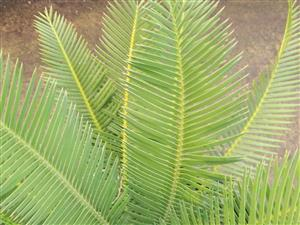 Dioon edule type 5g 4 inches