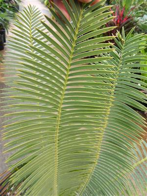 Dioon stevensonii 15g 3.5 inches