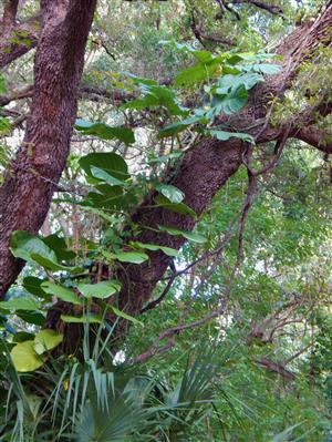 Philodendron in tree
