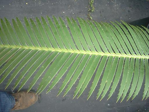 Dioon holmgrenii leaf close up