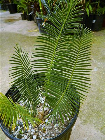 Dioon sonorense