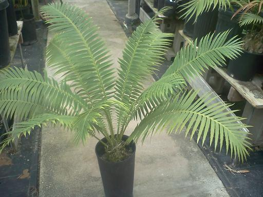 Dioon  spinulosum cit pot