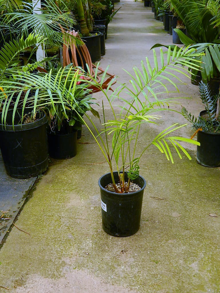 Dypsis baronii 5g