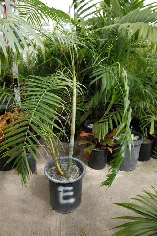 Dypsis baronii 15g