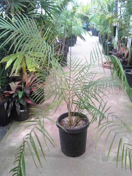 Dypsis baronii nursery