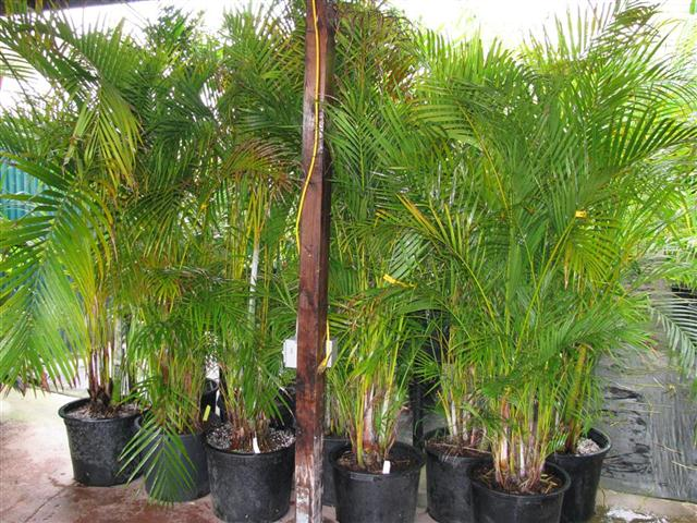 Dypsis lutescens, mutiple plants