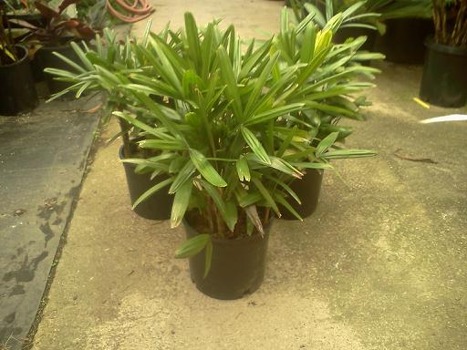 Rhapis excelsa 3g, several