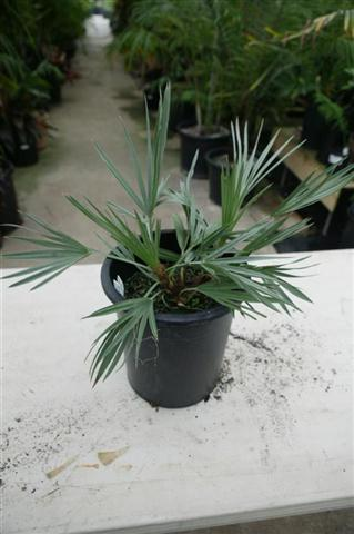Trithrinax campestris 5 gallon