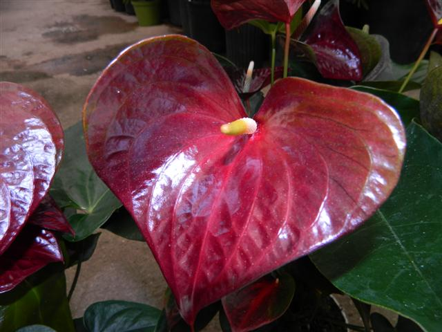 Anthurium red-black
