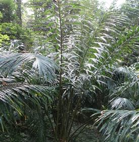 Cycas bifida by China Gardening Nursery