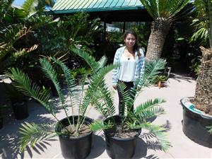 Encephalartos munchii blue