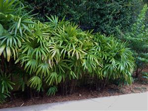 Rhapis excelsa, lady palm