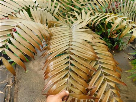 Ceratozamia latifolia gold leaves