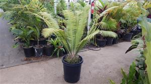 Dioon mejiae