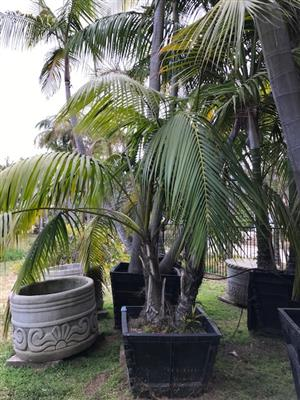 Howea forsteriana for sale