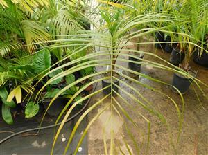 "Rocky River palm -10cm Plant-Live starter-RARE 4/"" ARCHONTOPHOENIX TUCKERI"