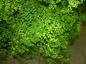 Maidenhair fern 1g