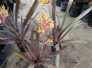 Aechmea sp. yellow branching flower