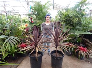 Cordyline australis purple