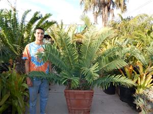 Encephalartos sclavoi 24 inch box caudex 10 inches