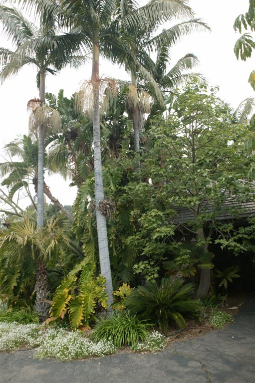King Palm in commercial garden