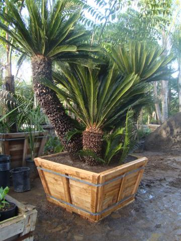 palm trees and cycads for sale. Black Bedroom Furniture Sets. Home Design Ideas