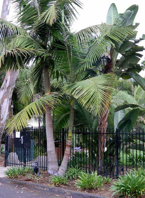 Double King Palm