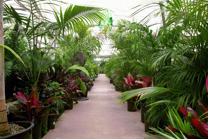 Nursery palm trees