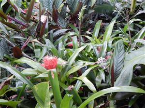 Bromeliads in the Landscape