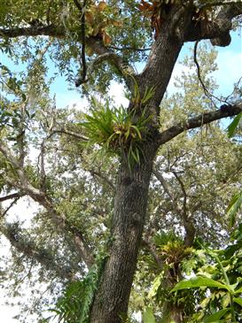 Bromeliads in the Landscape - in tree